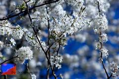 blossom, flower, branch, tree, sunlight, flora, prunus spinosa, cherry blossom, spring, twig,
