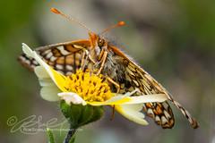 Bay Checkerspot Butterfly (Euphydryas editha bayensis)