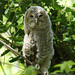 Tawny Owl Juvenile by Hairy Caterpillar