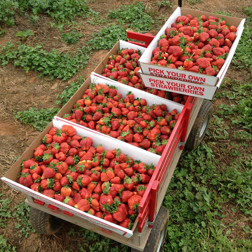 32 pounds of strawberries