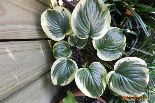 Hosta 'Fragrant Queen'