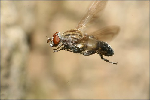Hoverfly in Flight