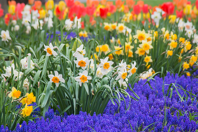 Flowers, Daffodils, Tulips, Spring, Colorful Flowers