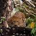 Leopard, Nagarahole
