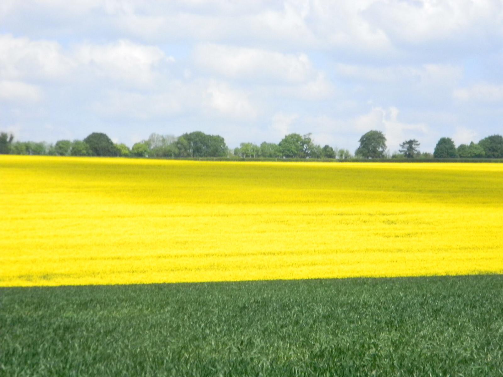 broad yellow swathe Oilseed rape. Salisbury to Amesbury via Stonehenge