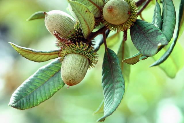 Tanbark Oak_Nithocarpus densiflorus_Bon Tempe Lake_1980-09-14__WF