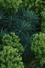 Euphorbia characias ssp. wulfenii, Mediterranean Spurge
