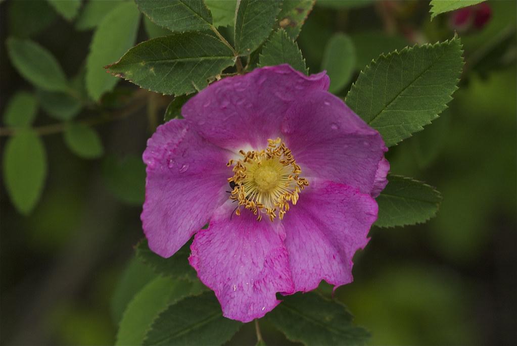 Wood's Rose