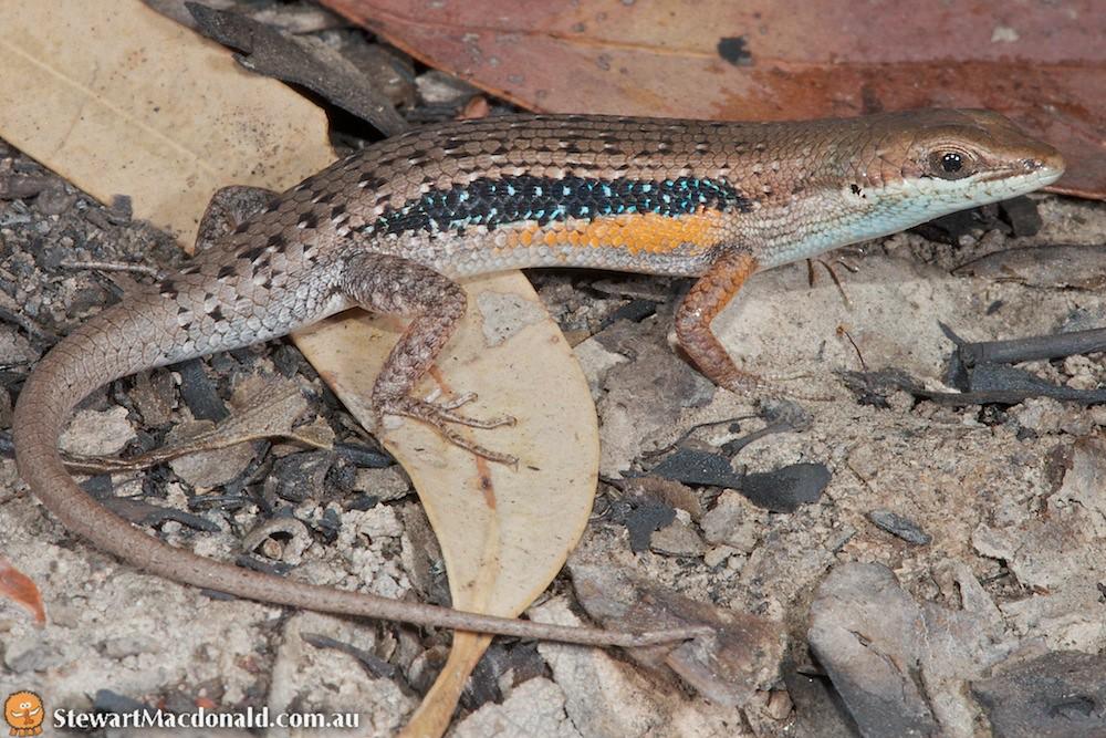 Lined rainbow-skink (Carlia jarnoldae)