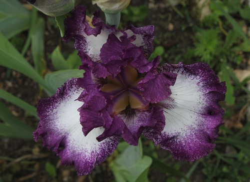 Nos Iris : floraisons 2012 8984656787_f88b2b4656