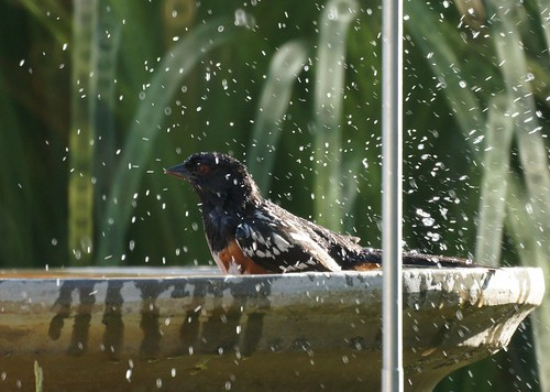 Spotted Towhee taking a bath by Mike's Birds