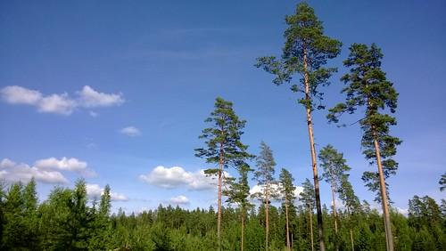 blue summer sky tree pine forest finland landscape bluesky merkjärvi nokialumia925