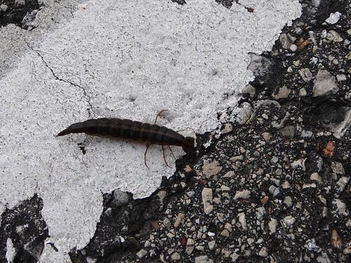 Diving Beetle Larva Crossing the Road
