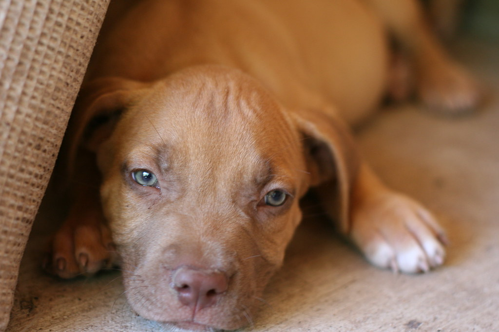 Red Noseblue Nose Pitbull Puppy Puppy Blues Texbeck Flickr