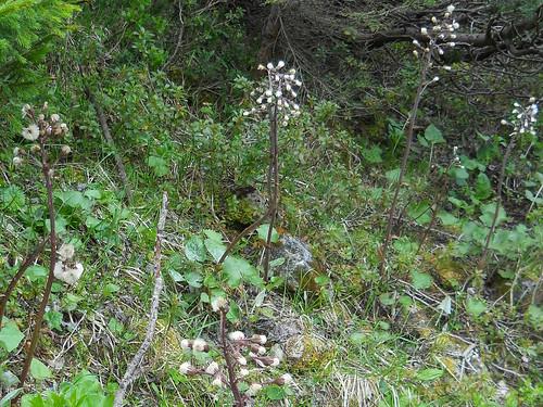 Paradoxal butterbur (Petasites paradoxus)
