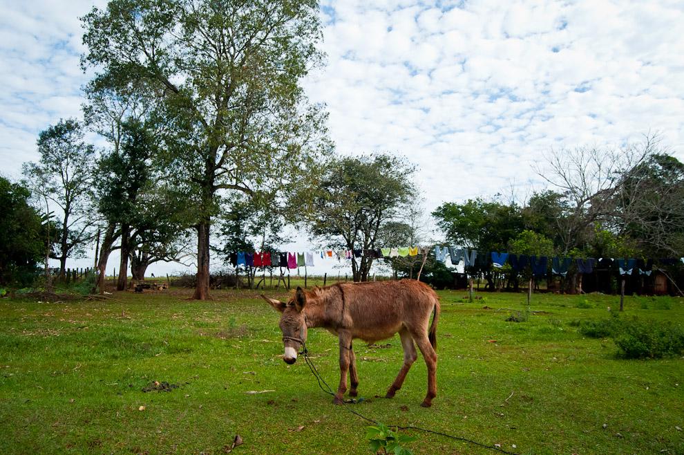 Un burro de trabajo pastando en el patio de unos habitantes de la ciudad de Itá Verá . En este pueblo aún pueden verse el uso de carretas, burros y otros medios tradicionales de transporte. (Elton Núñez)