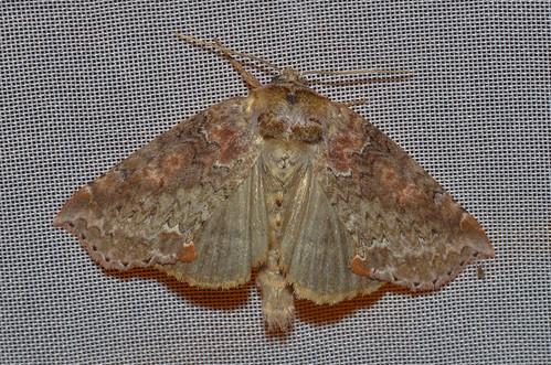 <p><i>Pseudothyatira cymatophoroides</i>, Drepanidae<br /> Simon Fraser University, Burnaby, British Columbia, Canada<br /> Nikon D5100, 105 mm f/2.8<br /> July 24, 2013</p>