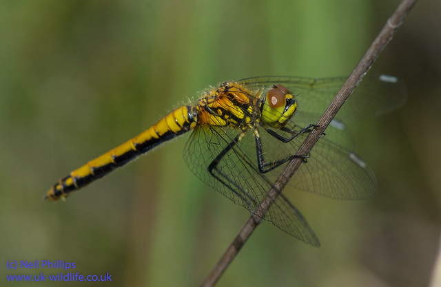 Black darter Sympetrum danae-6