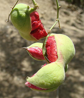 Pithocellobium dulce, known as Guamuchil