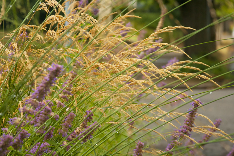 Rainy Day calamagrostis 3