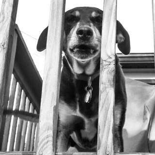Teutul jail... #rescue #houndmix #adoptdontshop #coonhoundmix