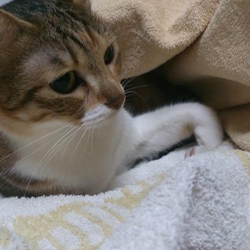 洗濯物取り込み中。バスタオルが嫌いな猫がいるのかしら by Chinobu