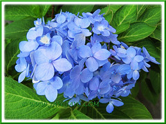 Blue Hydrangea macrophylla 'Endless Summer' blooms year round in our garden, Aug 10 2013
