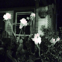 Calm before the storm2. #Hipstafiend #iphonography #iPhoneography #MoPho #FlowerPorn #Cannas #Nighttime #AfterDark