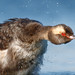 Horned Grebe by bmse