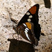 Small photo of Arizona Sister . Adelpha eulalia. u/s