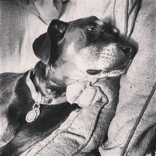 My baby girl is not feeling well today :( #dogstagram #dobermanmix #dobiemix #seniordog #ilovemyseniordog