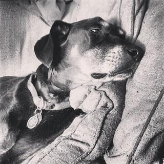 My baby girl is not feeling well today :( #dogstagram #dobermanmix #dobiemix #seniordog #ilovemyseniordog