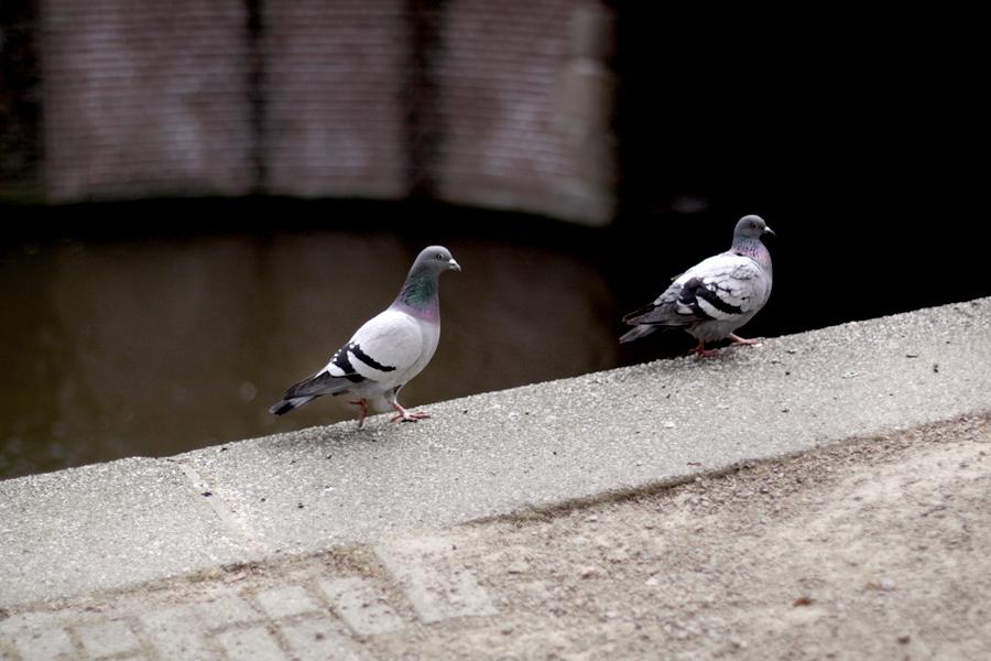 Pigeons random encounter blogpost photography Amsterdam water cute animals CATS & DOGS blog Berlin Ricarda Schernus