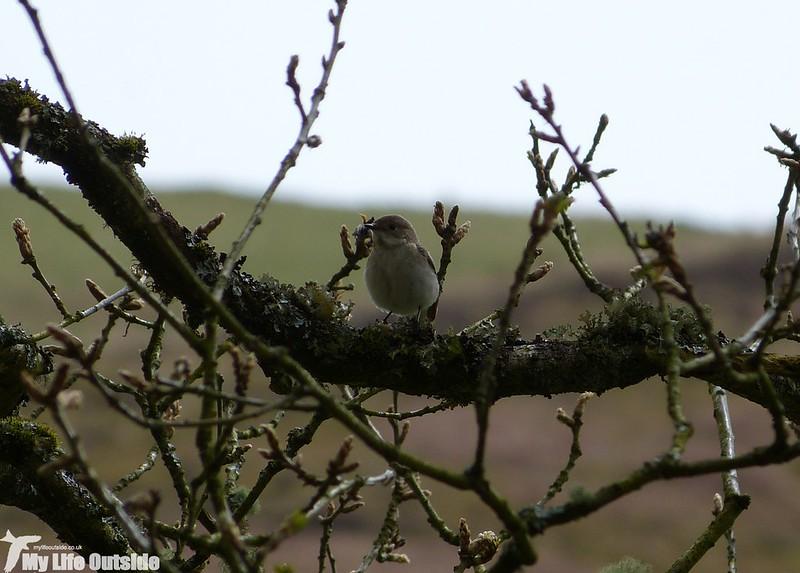 P1120651 - Pied Flycatcher, Gwenffrwd-Dinas