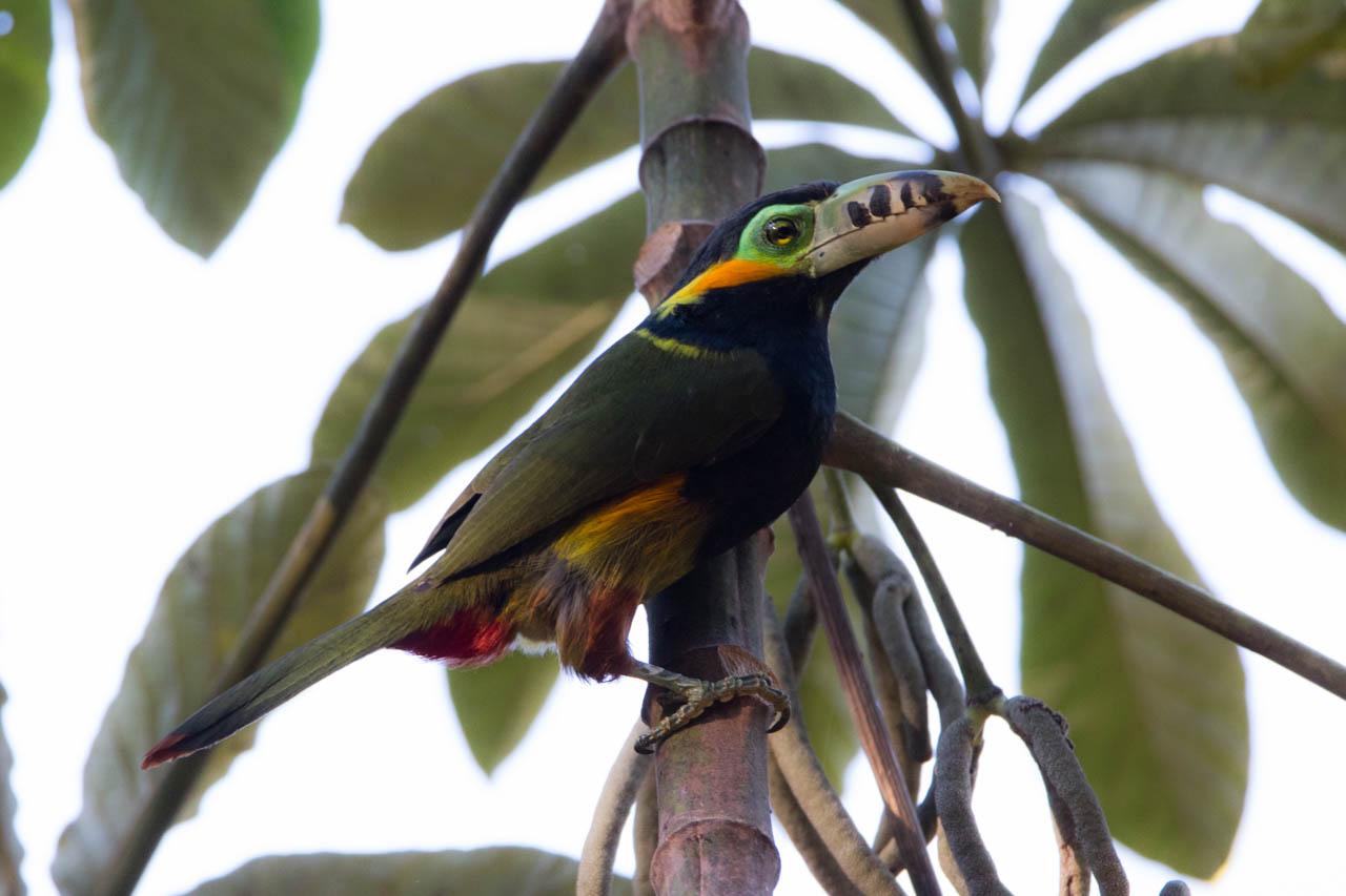 El tucancito de pico maculado o arasarí chico, con el nombre científico Selenidera maculirostris, es un ave nativa de Brasil, Bolivia, Paraguay y el norte de Argentina. (Oscar Bordón)