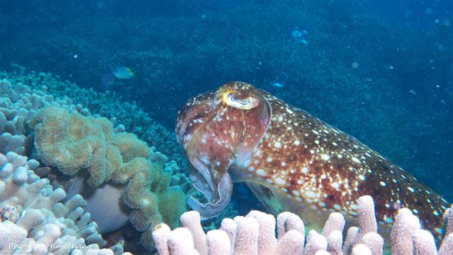 産卵前のコブシメ