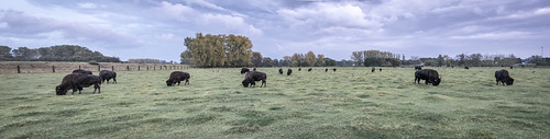 Herd of bisons
