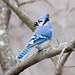 Blue Jay, caching acorns by malarchie