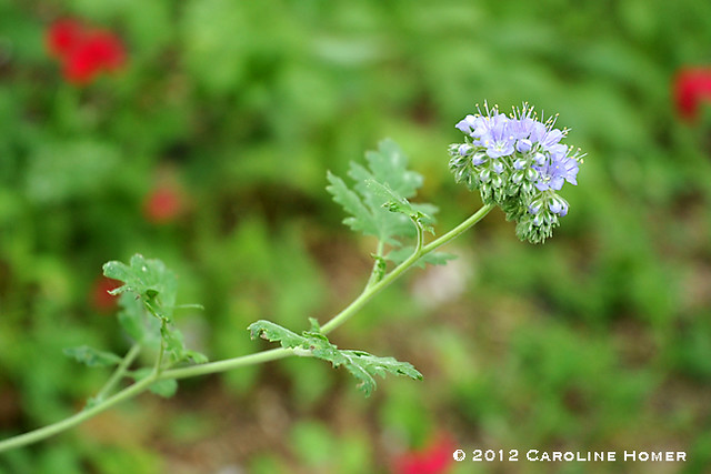 'Blue Curls' wildflower