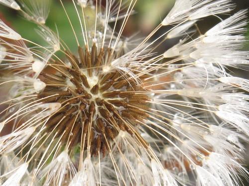 Wet dandelion seeds
