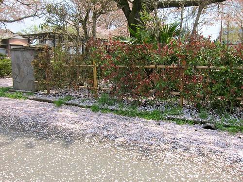 桜吹雪のあと