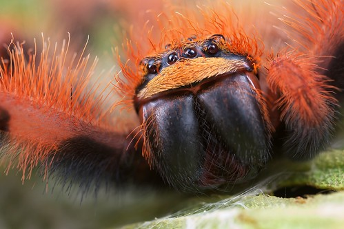 Orange huntsman (sparassidae)