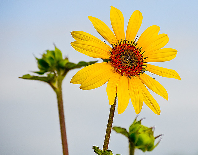 Helianthus tuberosus  flower