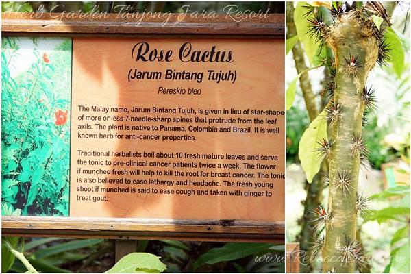 Herb - Rose Cactus