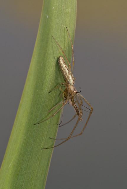 Stretch spider tetragantha extensa