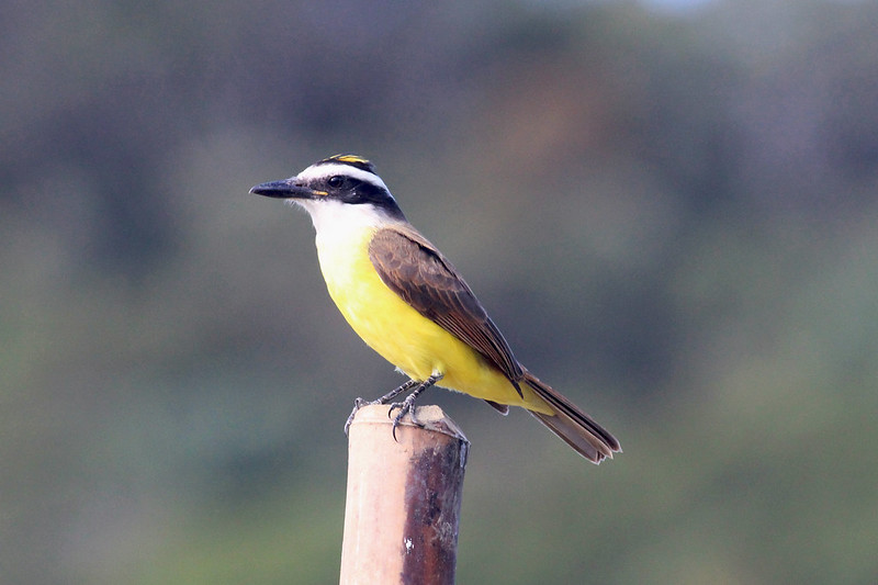 Imagen de una de las aves del Quindio: Bichofue Griton (Pitangus Sulphuratus)