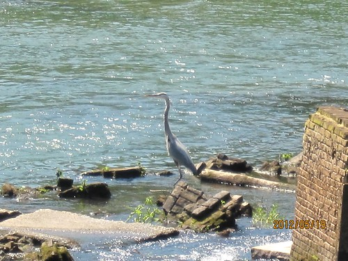 Great Blue Heron on the Oconee River