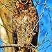 Horned Owl  A2
