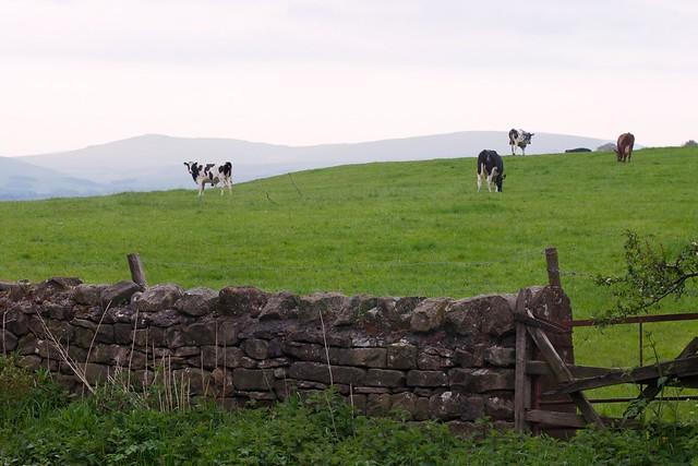 Field n Cows