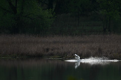 Swan Landing-41636.jpg by Mully410 * Images